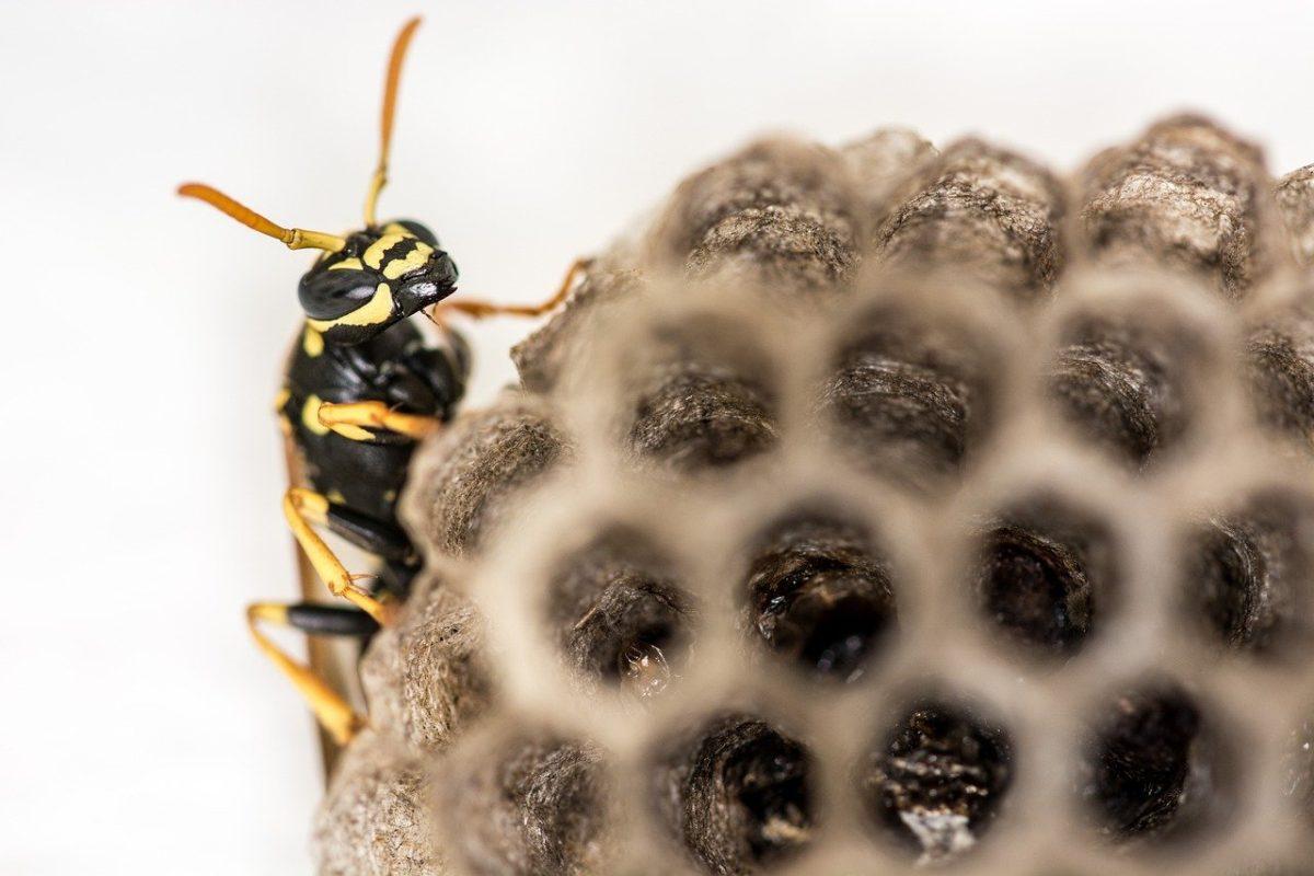 Comment détruire le nid des guêpes polistes?